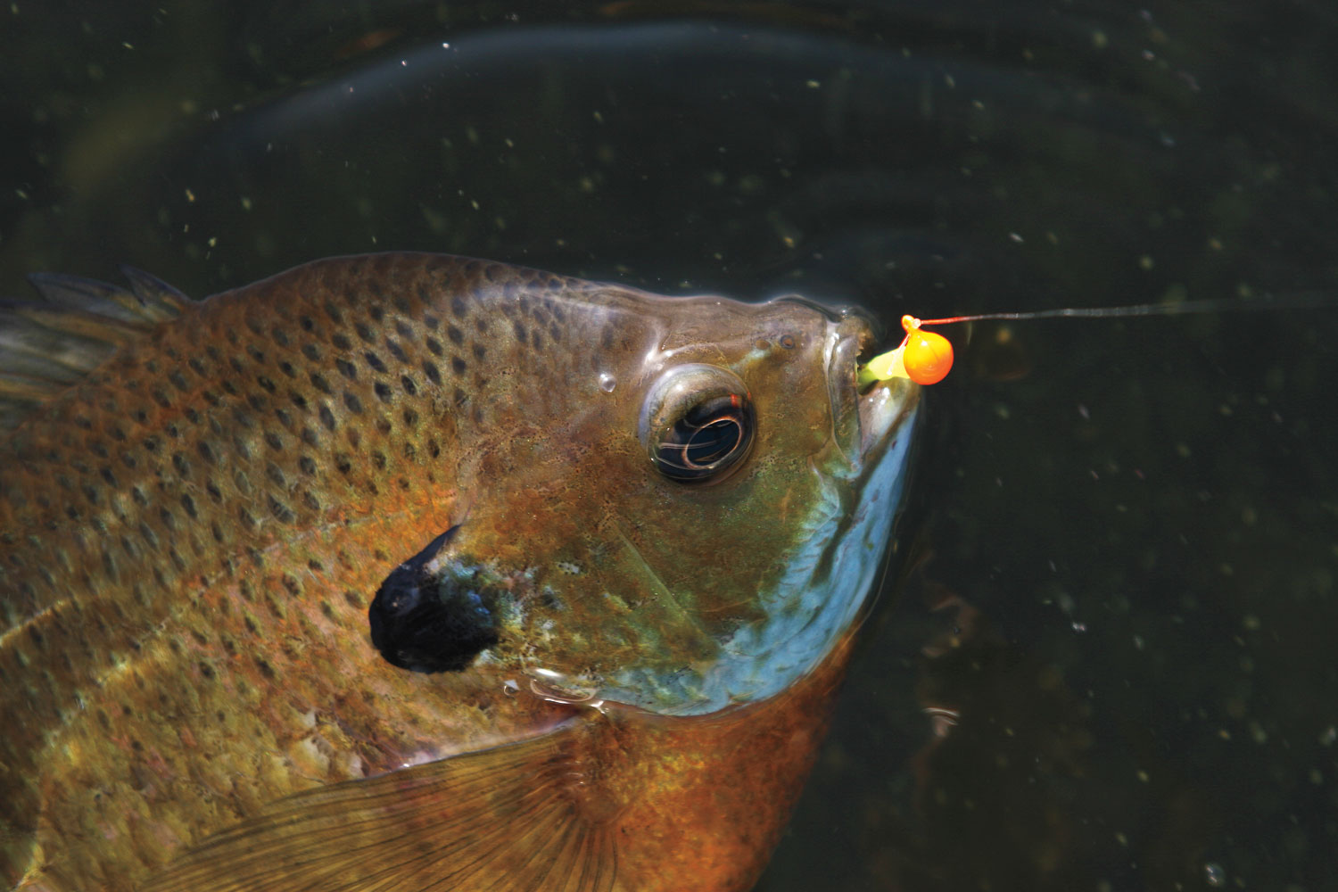 Dipping and deadsticking prespawn bluegills in fisherman for Bluegill fish tank