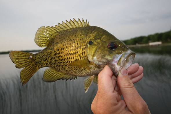 rock bass in fisherman