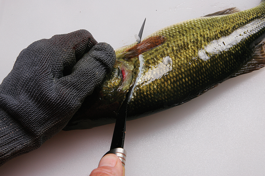Filleting is the most popular method for cleaning most fish.