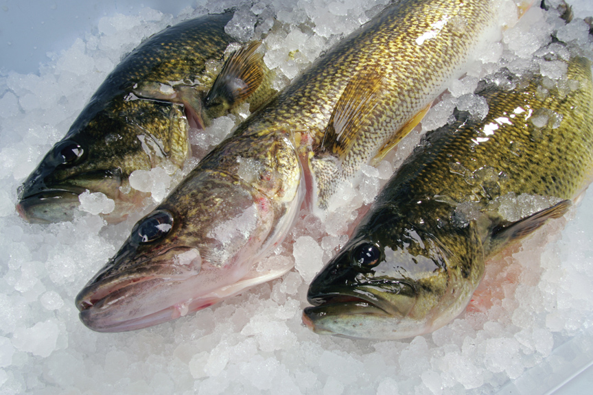 How to keep fish fresh in fisherman for How to freeze fish