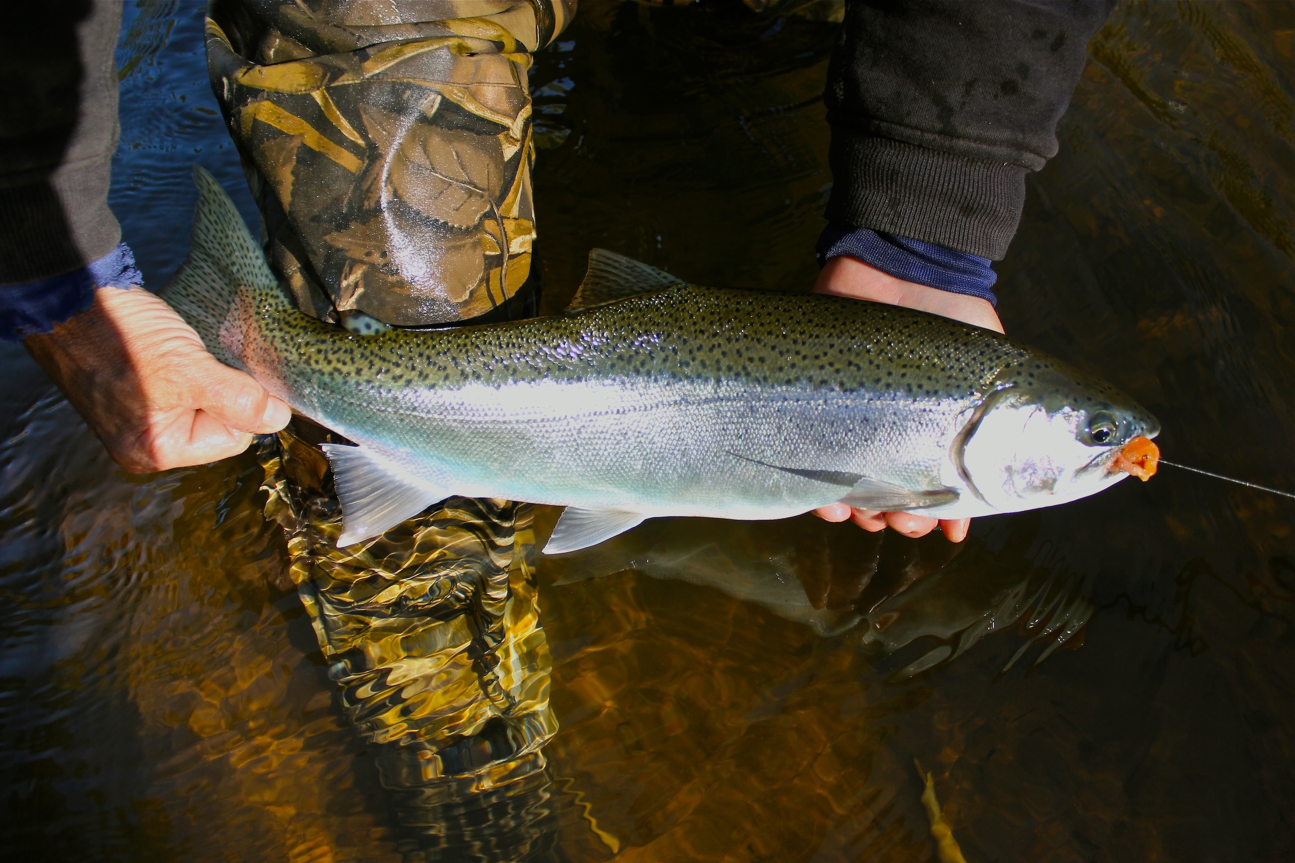 Steelhead Autumn