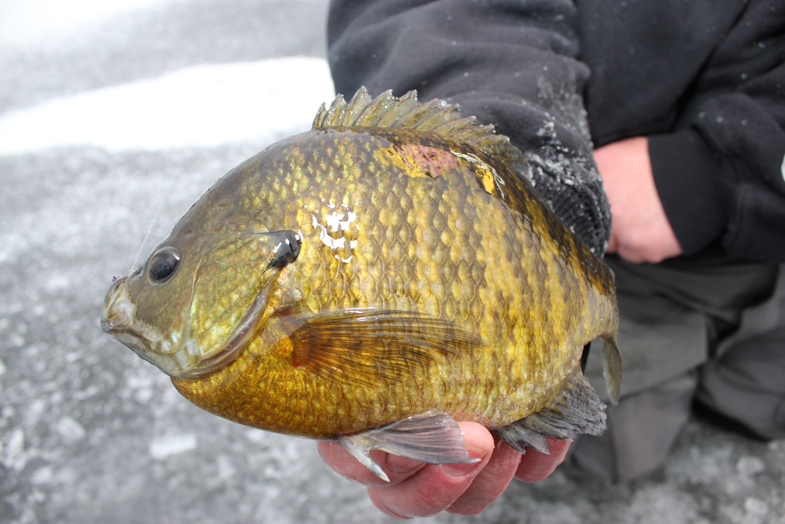 Cold-Front Bluegill Wrangle