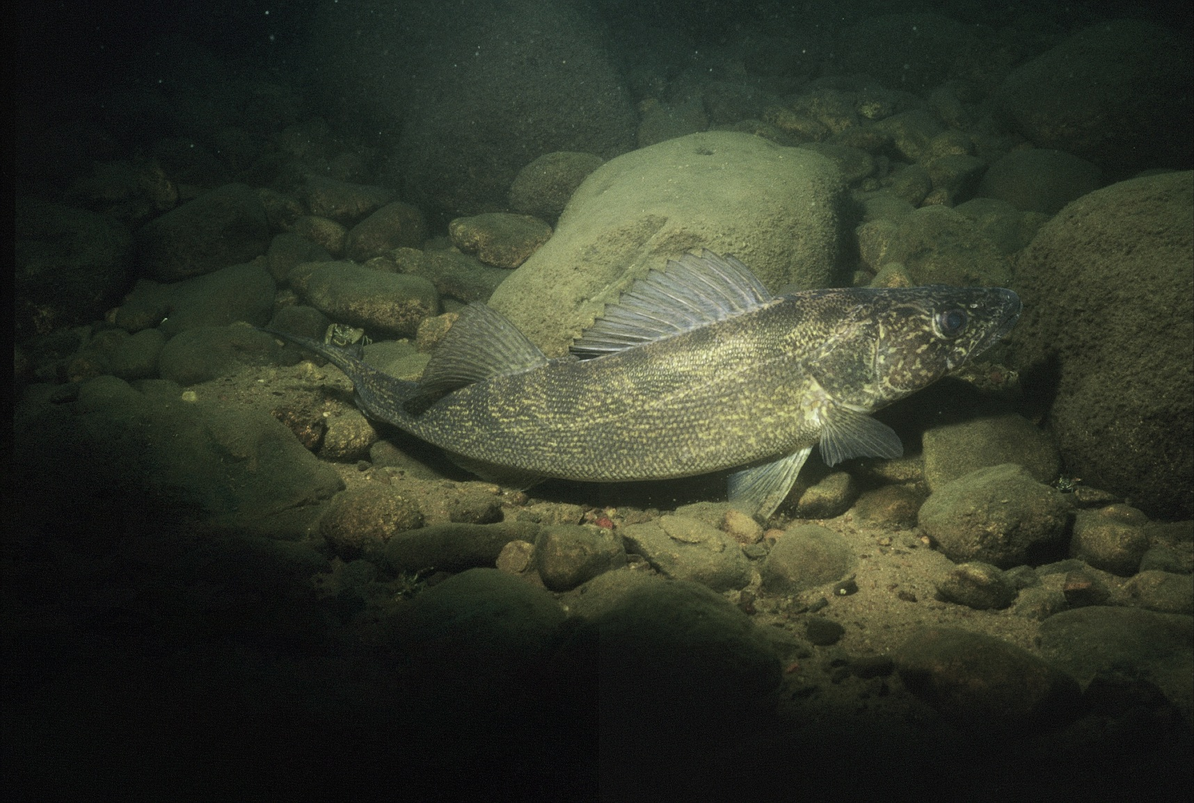 What are The Walleyes Doing?  What are The Wa...