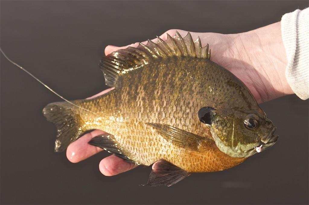 how to catch big sunfish
