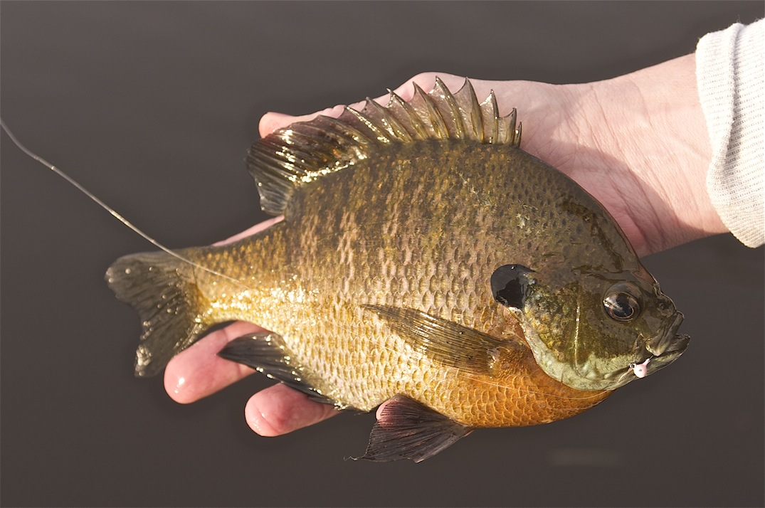 Last post we discussed a reader's questions regarding the search for bluegills in early spring.