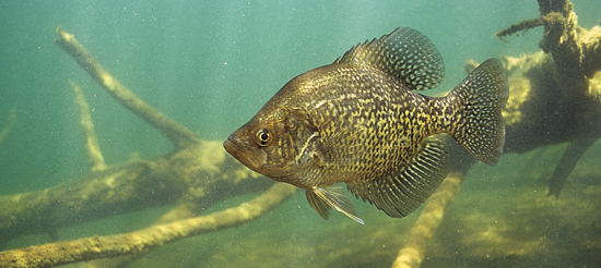 Crappies for the most part remain abundant in the face of sustained fishing pressure from lots of