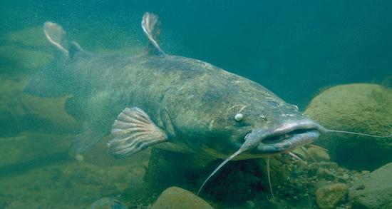 Catfish Rig