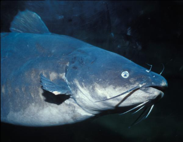 blue_catfish