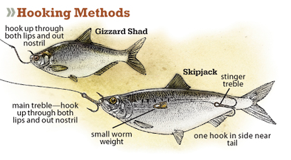 How to Catch Striped Bass: 15 Steps with Pictures - wikiHow