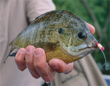 When bull bluegills invade heavy cover, pulling them out means pure toe-to-toe infighting. In