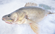 Compared to early-ice or late-ice, catching walleyes during midwinter tends to be a tad tougher.