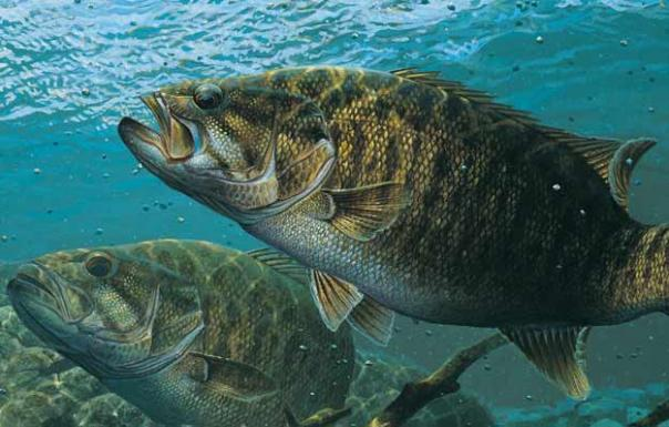 The world s top 10 smallmouth locations in fisherman for Smallmouth bass fishing