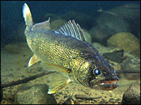 Walleyes can be caught from shore in lakes, rivers, and reservoirs throughout the year. In lakes,