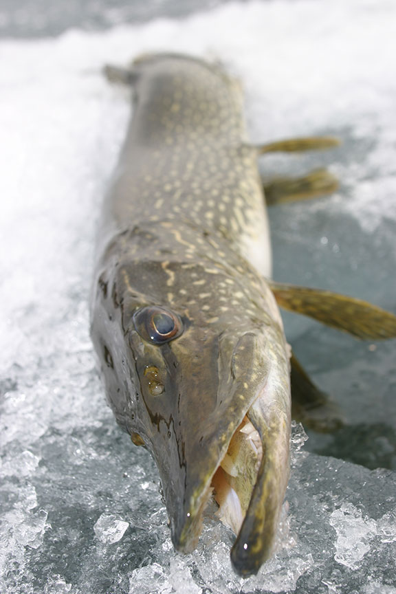 Jigging for winter pike in fisherman for Pike ice fishing lures