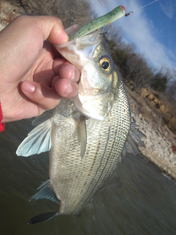 Z Manfishing Product 39 S 2 1 2 Inch Zinkerz For White Bass