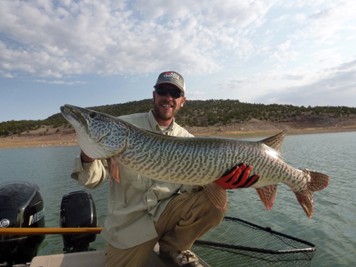 "Bluewater Lake Tiger Muskie that measured 48"" without pinching the tail!"