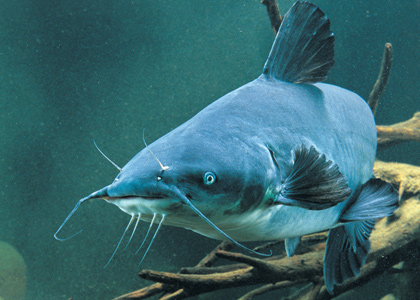 Catfish Growth Factors