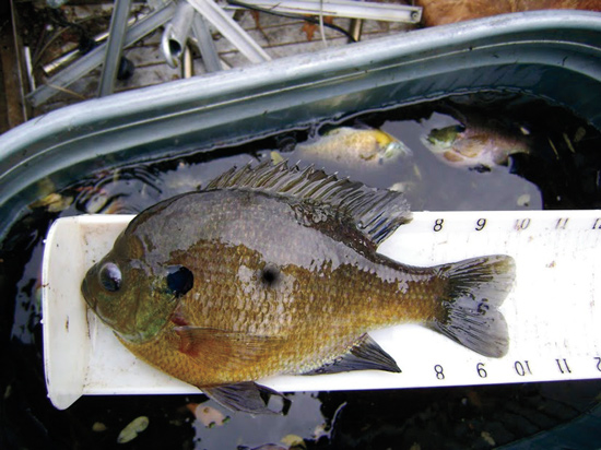 Prodigious Panfish Ponds
