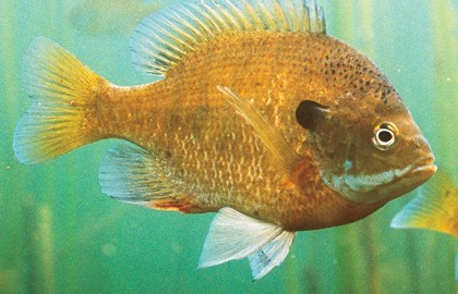 Bluegill-Secrets-Feature-In-Fisherman