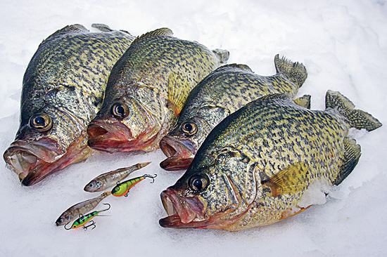 Winter crappie forage tactics in fisherman for Pictures of crappie fish