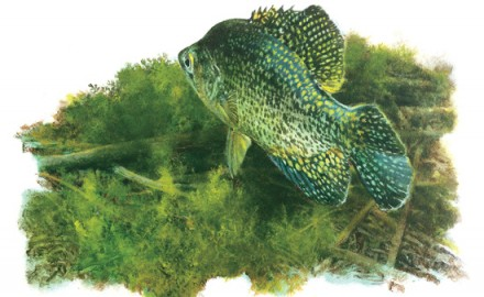 Crappie-on-Bottom-Illustration-In-Fisherman