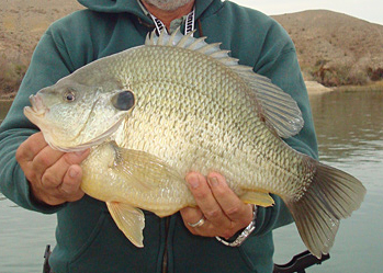 5-pound 12.8-ounce World Record Sunfish