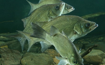 Would 75 panfish per day be of interest to anyone? What if they averaged about 17 inches in length