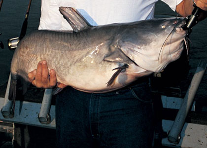 Big River Blue Catfish