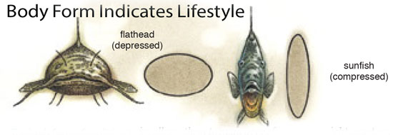 Flathead Catfish Behavior