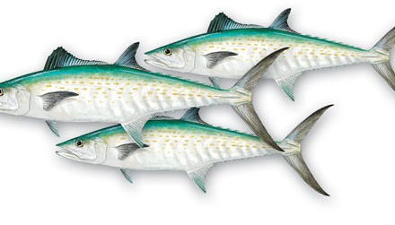 In southern California, cut mackerel is the most popular bait for channel, white, and blue cats.