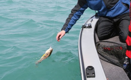 It's nice to be the bearer of good news, and when it comes to Great Lakes perch, there's plenty to