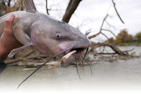 Catfish bait walking systems in fisherman for Cat fish bait