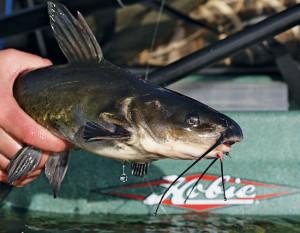 Catfish-Profile-Kickboat-In-Fisherman