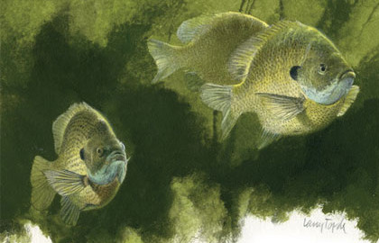 Sunfish spawning can begin as early as late February in south Florida, or into June at the northern extent of their range in Michigan and Pennsylvania.