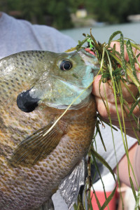 Bluegill-Cabbage-In-Fisherman