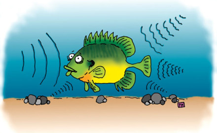Panfish-Hearing-Illustration-In-Fisherman