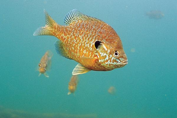 Deep Panfish