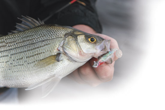 White bass beyond the run in fisherman for White bass fishing lures