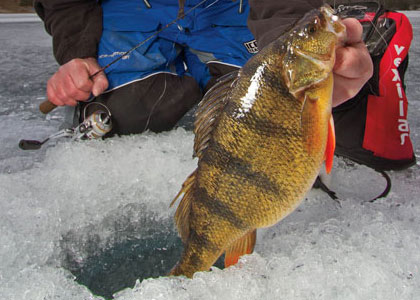 Ice fishing deep perch in fisherman for Ice fishing perch