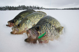 Crappies-on-Ice-In-Fisherman