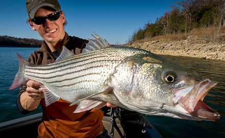 Stripers are not native to the West. They were first introduced to the Colorado River by the