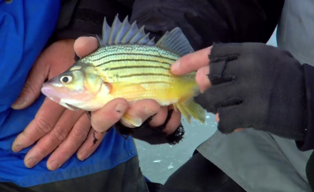 Selective Harvest Yellow Bass