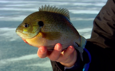 Matching the dancing movements invertebrates can be the key to wintertime bluegills.