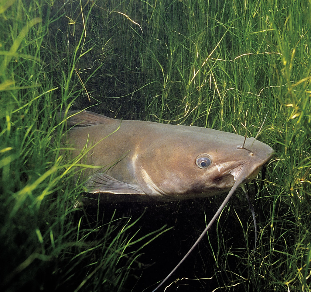 How To Catch Catfish In Weeds