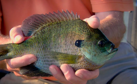 Senior Editor Steve Quinn and Capt. Bobby Hensel put the smack down on coppernose bluegills.