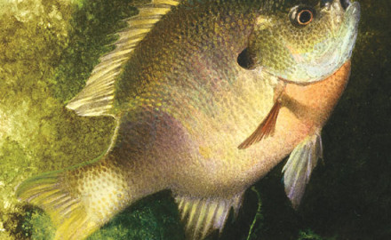 Though sunfish move into shallow water with the first rising water temperatures of spring, they