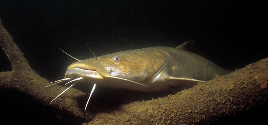 stocking catfish