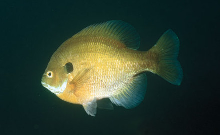 Until a few years ago, the management strategy for good bluegill fishing—meaning good numbers of