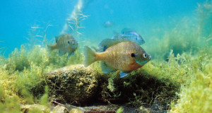 Managing Bluegills