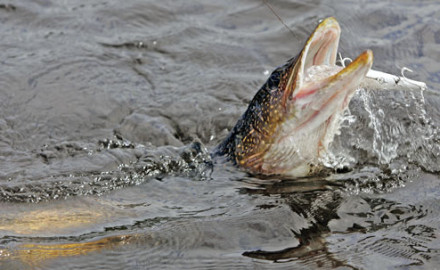 Pike are built to eat fish: elongated snout, strong jaws, and a mouth full of gnarly teeth; eyes